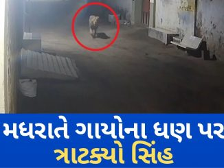 Lions caught on camera chasing Cows in Dhari, Amreli