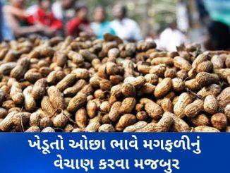 Rajkot: MSP procurement of groundnut begins at Bedi market yard