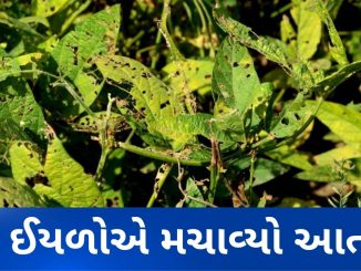 Patan: Farmers face huge loss after crop destroyed by pest attack