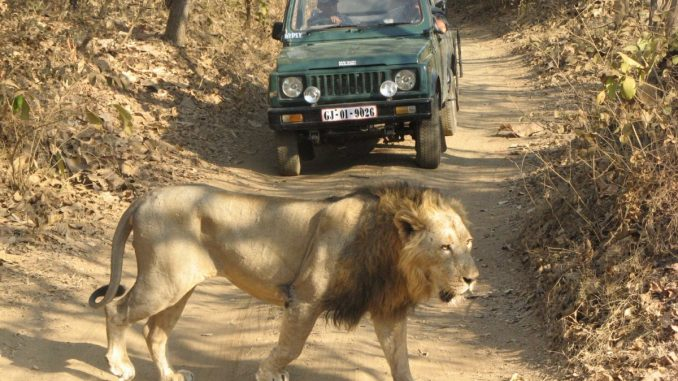 Gujarat: Scary moment as lion comes close to tourist vehicle in Gir, video goes viral | TV9News