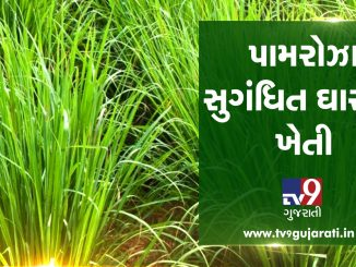 Extreme income from Palmroza aromatic grass farming