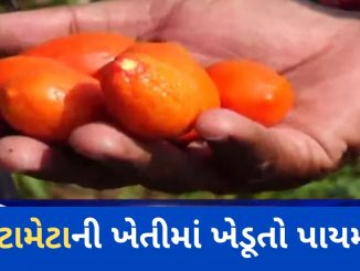 Chhota Udaipur: Unseasonal rain left tomato farmers helpless