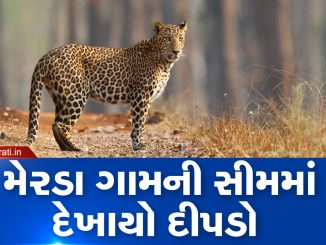 Mehsana: Leopard spotted at Merada village of Kadi, forest dept on toes