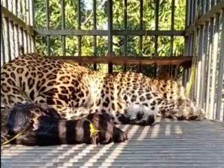 Junagadh: Leopard trapped in Keshod