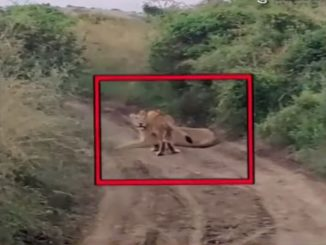 Gujarat: Viral video shows group of lions roaming in Rajula and Junagadh