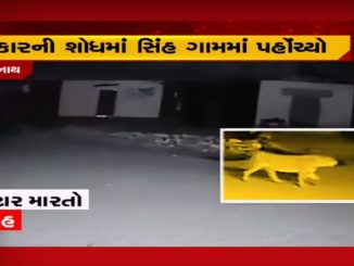 Lion prowls around the street in Gir-Somnath