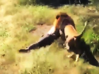 Lion mauled a labourer to death in Amreli's Dhari, forest officials reached on the spot