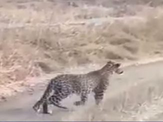 Junagadh: Leopard sitting amidst the road in Gir forest, tourist captured video