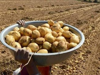 Potato farmers hoping for better prices this year, Banaskantha