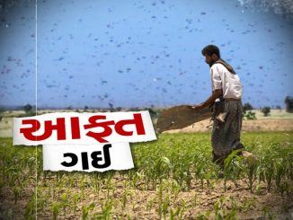 Farmers worried as locusts swarm move to Rajasthan