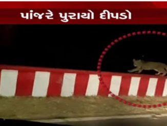 Diu: Leopard entered residential area of Ghogla, trapped diu na ghogla ma bhay felavnara dipda ne van vibhag ni team e panjre puryo