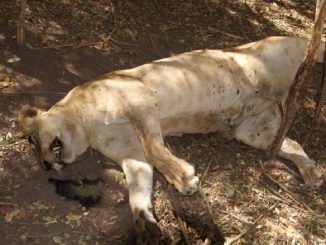 Lioness found dead in Gujarats Amreli