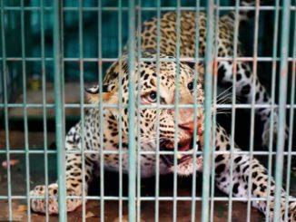 Bardoli Leopard trapped in cage at Kikvad village