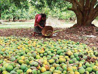 Mango crops hit by unseasonal rain in Dhari Amreli