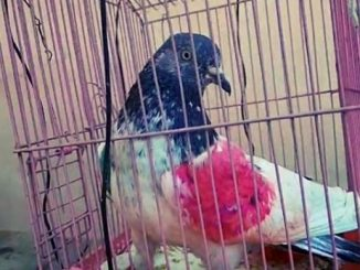 suspected-pigeon-with-numeric-code-found-at-the-india-pakistan-border