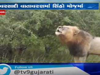 http://tv9gujarati.in/junagadh-and-gir…jo-ekaryo-shikar/