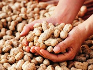 Groundnut procurement to be started from Oct 21 Gujarat Agriculture Minister R C Faldu
