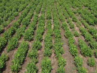 Heavy rain destroyed ripened crops in Kalavad farmers seeking govt help