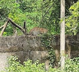 Cages set up by the forest department to catch leopards that have infiltrated the quarrelsome GIDC