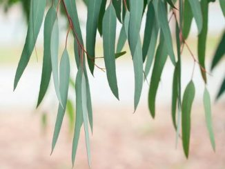 Eucalyptus leaves are full of many medicinal properties, know all the benefits