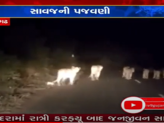 Another viral video of a lion being harassed, driving a car behind 15 lions
